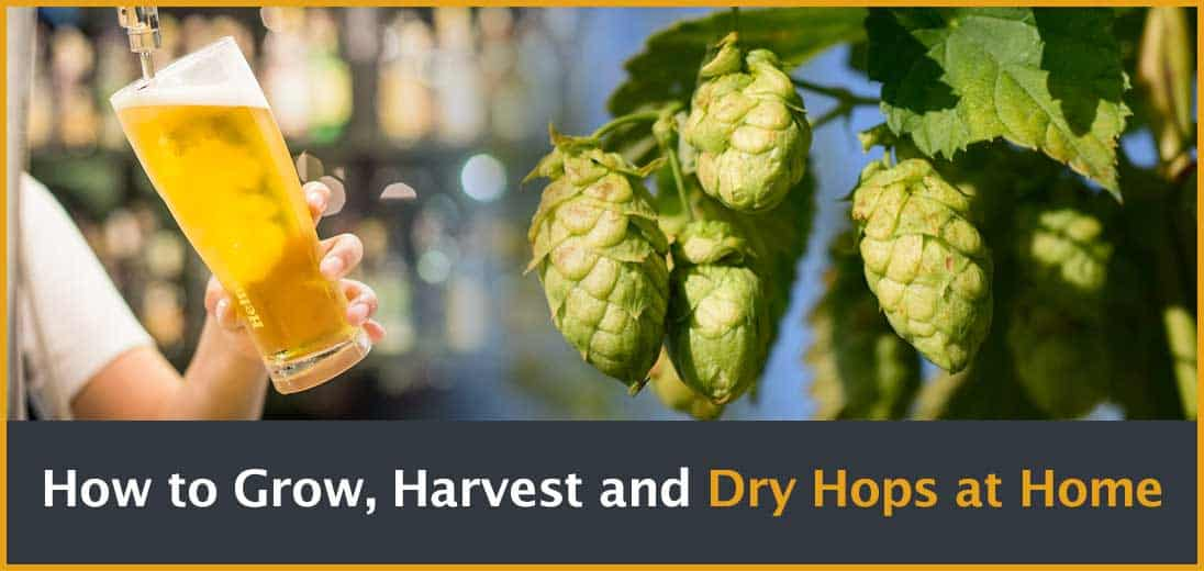 How to Grow, Harvest and Dry Hops at Home