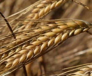 barley grains in the field