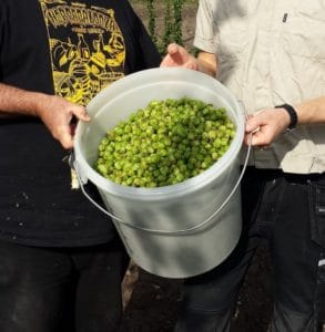 a bucket of hops